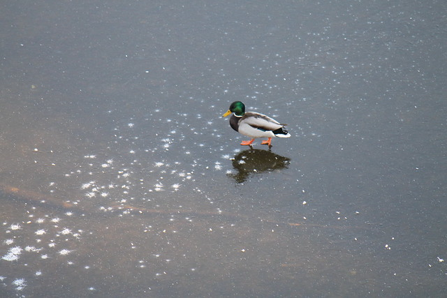 Jesus Duck walking on the Vltava