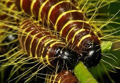 Redbase Jezebel Caterpillars (Delias pasithoe)