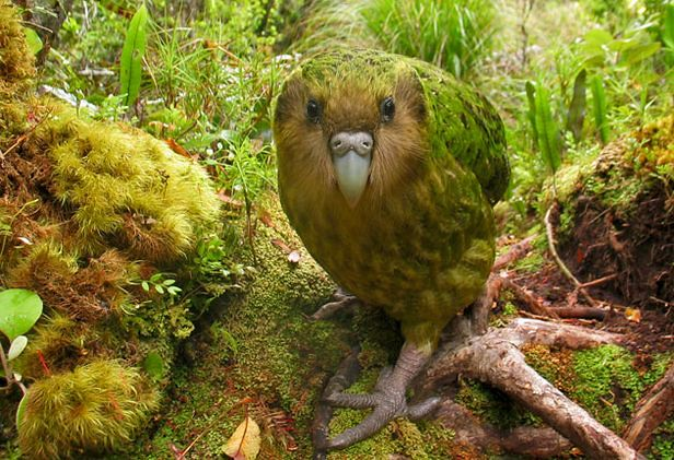 kakapo_541643s