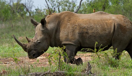 White Rhino and Tick Birds
