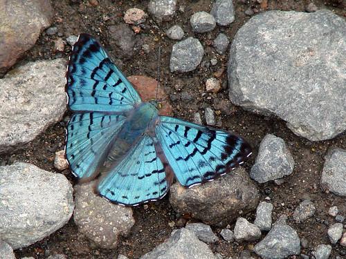 Lasaia (moeros??)/blue metalmark