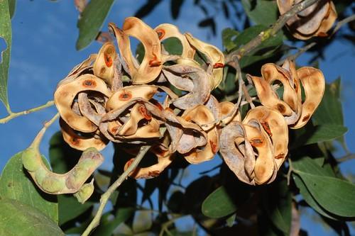 Acacia oraria