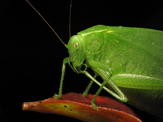 Mine foot is tasty (omnomnom) - a green Katydid