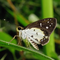 White-winged Forest Sylph - Ceratrichia nothus