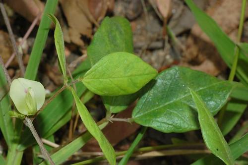 Macrotyloma axillare