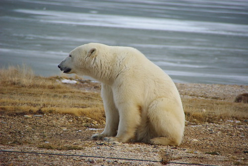 Polar Bear Sitting by Martin Lopatka