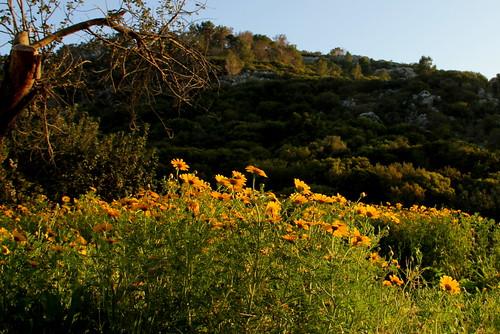 Etsba Ridge with Wild Chrysanthemums