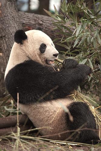 CHINA Sichuan Province Chengdu Sichuan Giant Panda Sanctuaries Chongquing Tour 3273 AJ20 by SunDeep™ 70+Countries SDBWP™ sundeepkullu.com