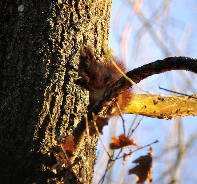 Red Squirrel  Ekorre