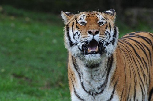 Sibrischer Tiger im Zoo de Trégomeur