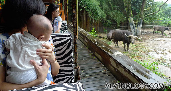 Checking out the water buffaloes