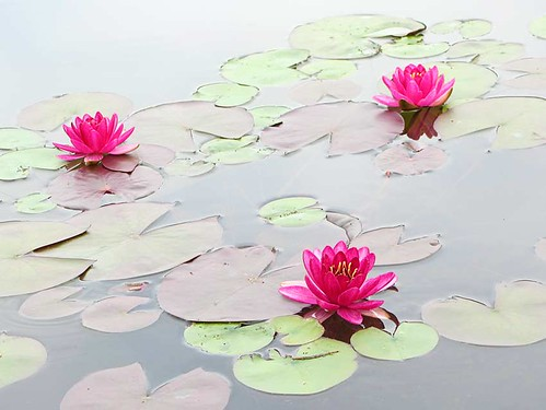 Water Lilies in the Morning
