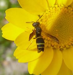 Odynerus spinipes? Vespidae.  See parasite note