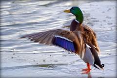 Bird - Duck - Mallard