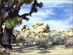 Old Joshua & Rocks, Joshua Tree NP 4-13-13