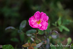 Candy pink flower