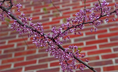 Redbuds -- Courthouse Arlington (VA) March 2012