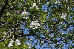 ヤマナシ(Pyrus pyrifolia, Yokohama, Japan)