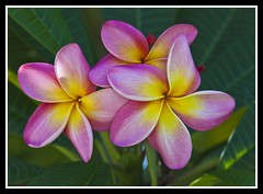 Frangipani still blooming in March2012-1=