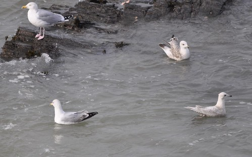 """Iceland Gull, Porthcothan, 04.02.14 (J.Julian) • <a style=""""font-size:0.8em;"""" href=""""http://www.flickr.com/photos/30837261@N07/13851366843/"""" target=""""_blank"""">View on Flickr</a>"""