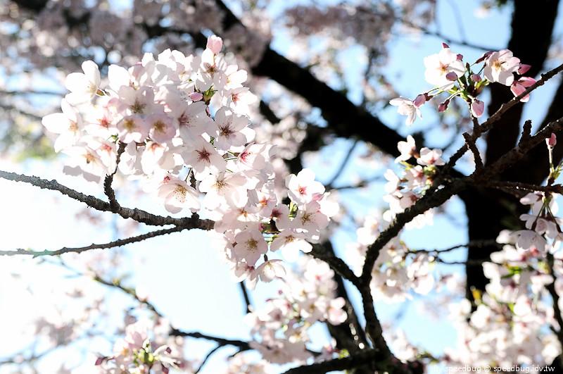 阿里山櫻花季88