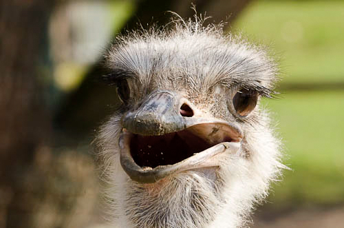 Strauß - Ostrich