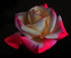 The Gemini Rose
