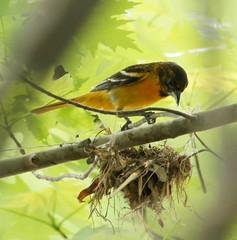 Baltimore Oriole with String