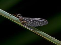 Mayfly in May