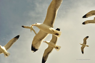 gulls-flying-flight.jpg
