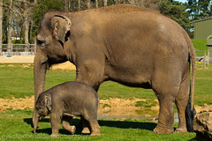 Elephant Calf with its Mother