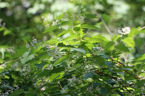 神代植物公園のカナウツギ(Jindai Botanical Park)
