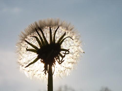 Dandelion-Fluff_Sun-Shining__104258