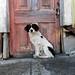 black and white Cerro Polanco dog 3
