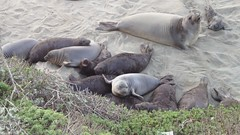 Video - A pile of baby Elephant Seals scramble...