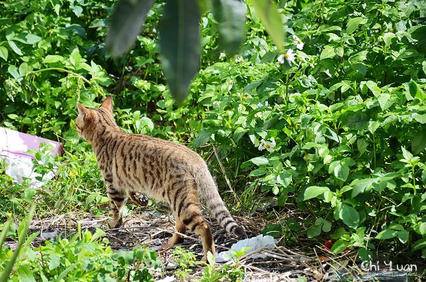 Cat漫步虎班01.jpg