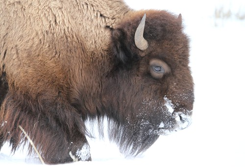 Snowy bison in Lamar Valley