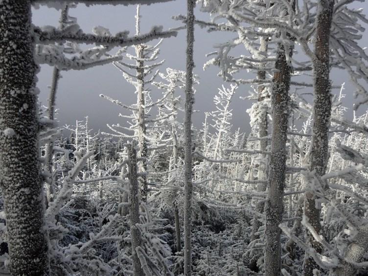 Mt. Adams Krummholz on the Lowe's Path