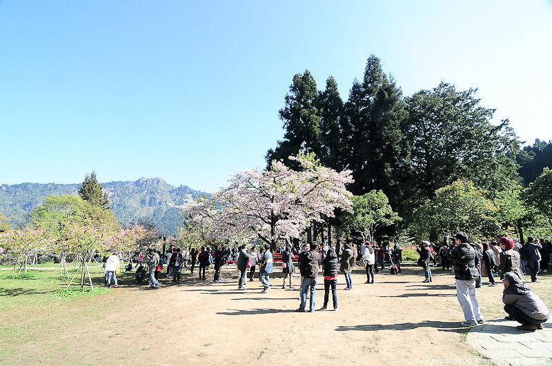 阿里山櫻花季63