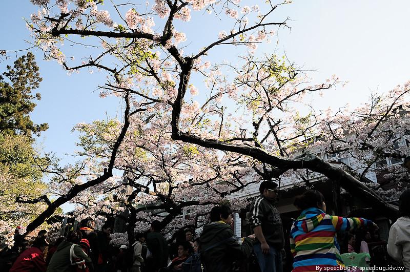阿里山櫻花季53