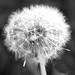 Klarsynthetens blomma