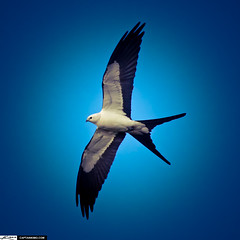 Swallow-tail Kite Bird Flying With Wing Spread...