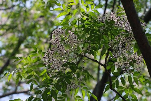 神代植物公園のセンダン(Jindai Botanical Park)