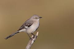 Northern Mockingbird | nordlig härmtrast | Mimus polyglottos