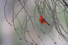 Vermilion Flycatcher | rubintyrann | Pyrocephalus rubinus