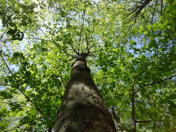 Maple Canopy