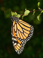 Chrysalis to Butterfly (#5 of 5)