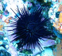 Blue glowing urchin