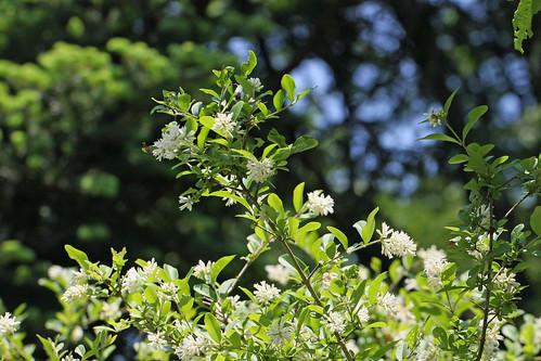 神代植物公園のシロバナヤエウツギ(Jindai Botanical Park)