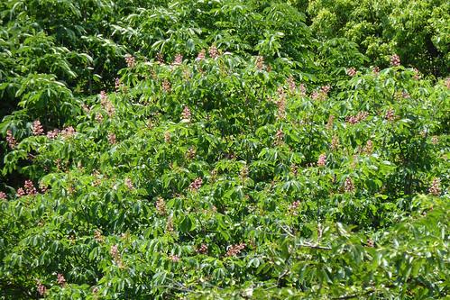 神代植物公園のベニバナトチノキ(Jindai Botanical Park)